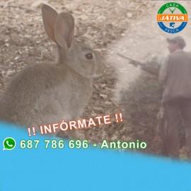 Descaste de conejo con escopeta